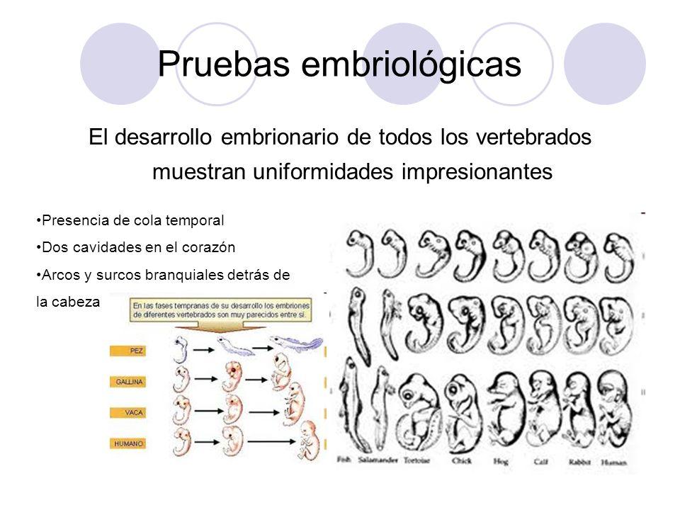 Pruebas anatómicas Consiste en distinguir las semejanzas entre órganos en dos grandes tipos: Semejanza homológica (parecido en estructura) Semejanza analógica ( poseen la misma función)