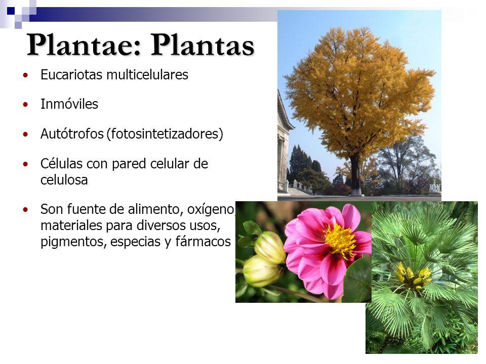 Plantae: Plantas Eucariotas multicelulares Inmóviles Autótrofos (fotosintetizadores) Células con pared celular de celulosa Son fuente de alimento, oxígeno, materiales para diversos usos, pigmentos, especias y fármacos