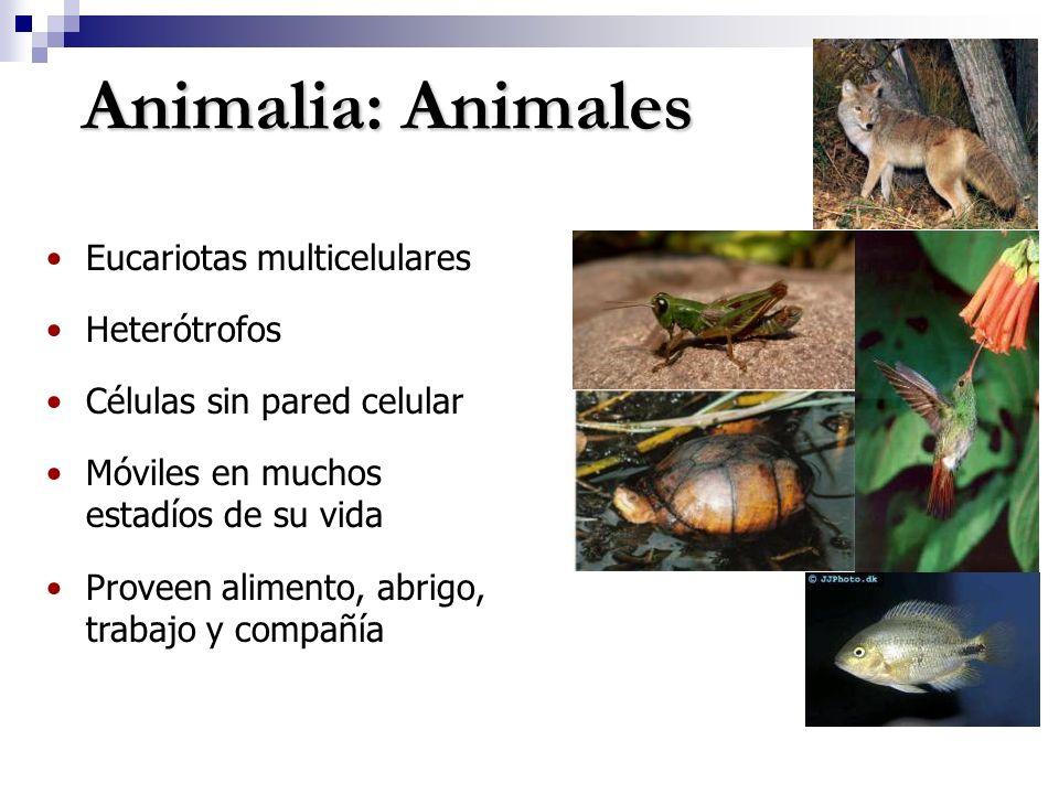 Animalia: Animales Eucariotas multicelulares Heterótrofos Células sin pared celular Móviles en muchos estadíos de su vida Proveen alimento, abrigo, trabajo y compañía