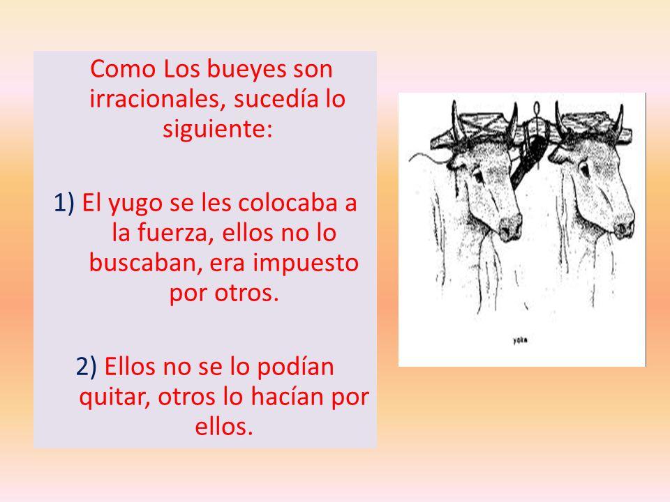 Como Los bueyes son irracionales, sucedía lo siguiente: 1) El yugo se les colocaba a la fuerza, ellos no lo buscaban, era impuesto por otros. 2) Ellos