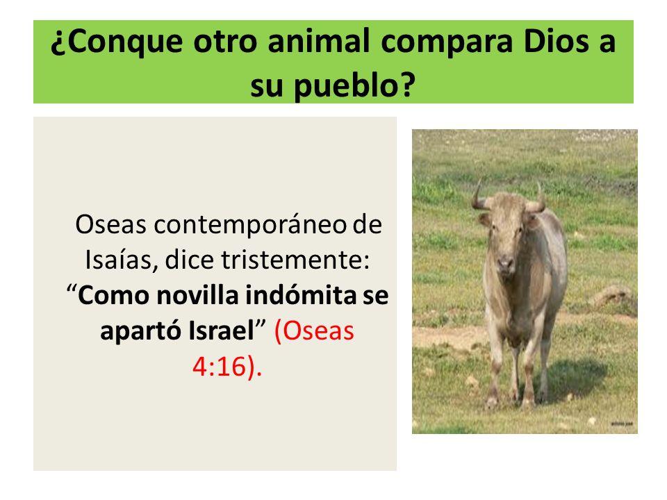 ¿Conque otro animal compara Dios a su pueblo? Oseas contemporáneo de Isaías, dice tristemente:Como novilla indómita se apartó Israel (Oseas 4:16).
