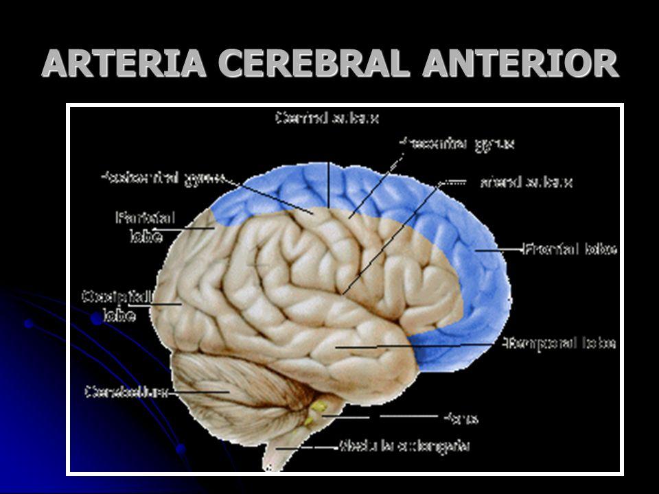ARTERIA CEREBRAL ANTERIOR Imagen obtenida en www.le.ac.uk
