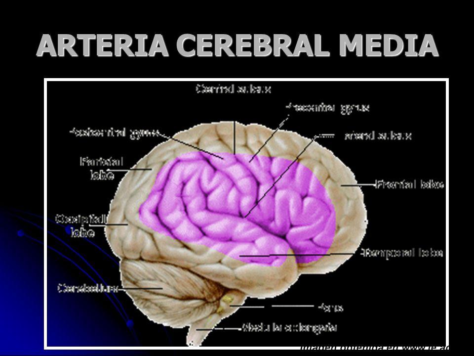 ARTERIA CEREBRAL MEDIA Imagen obtenida en www.le.ac.uk