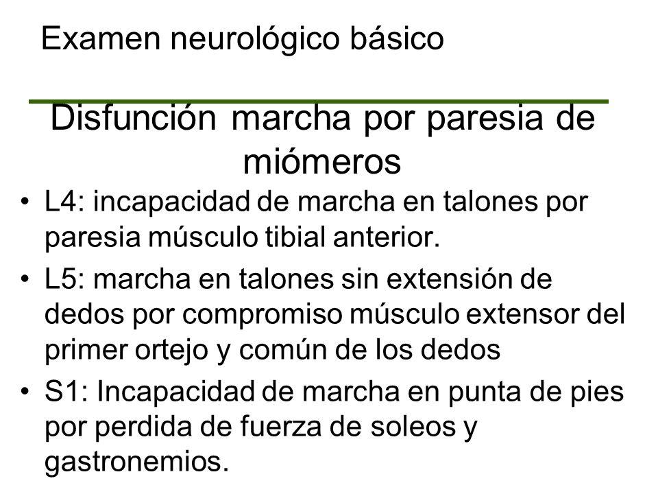 Disfunción marcha por paresia de miómeros L4: incapacidad de marcha en talones por paresia músculo tibial anterior. L5: marcha en talones sin extensió