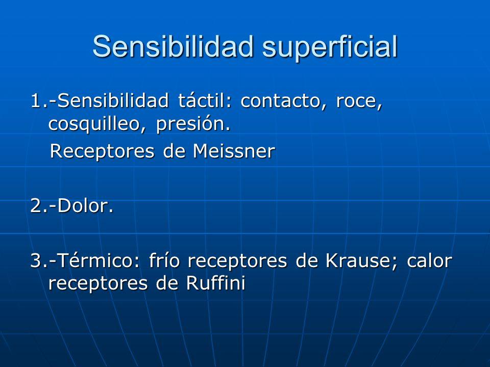 Sensibilidad superficial 1.-Sensibilidad táctil: contacto, roce, cosquilleo, presión. Receptores de Meissner Receptores de Meissner2.-Dolor. 3.-Térmic