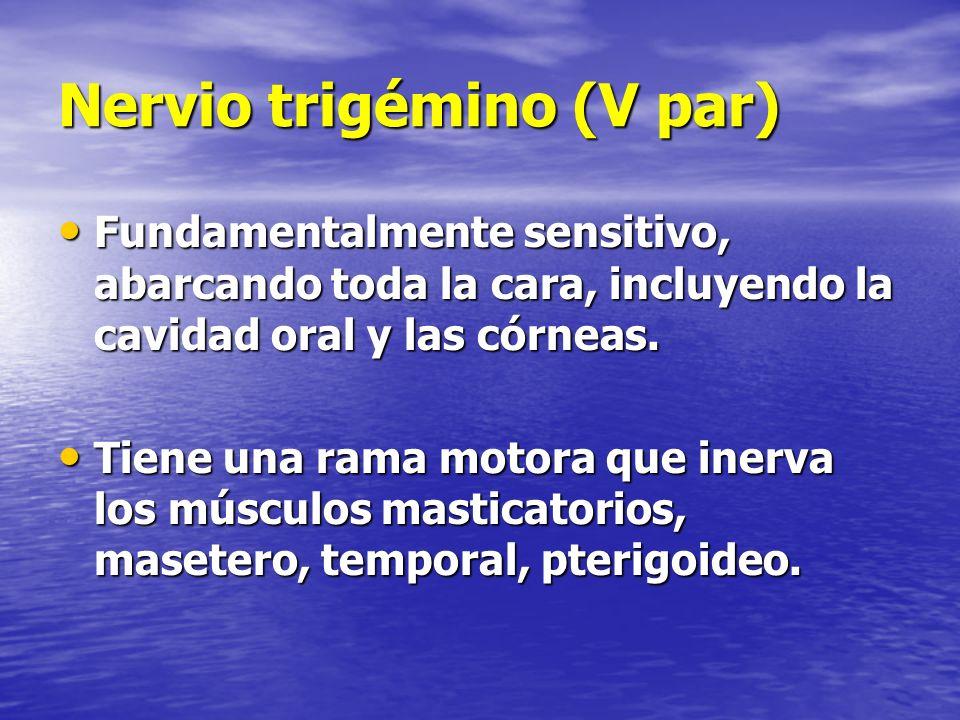 Nervio trigémino (V par) Fundamentalmente sensitivo, abarcando toda la cara, incluyendo la cavidad oral y las córneas. Fundamentalmente sensitivo, aba