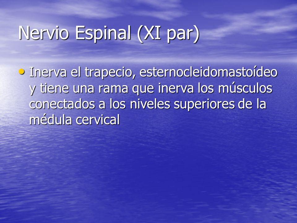 Nervio Espinal (XI par) Inerva el trapecio, esternocleidomastoídeo y tiene una rama que inerva los músculos conectados a los niveles superiores de la
