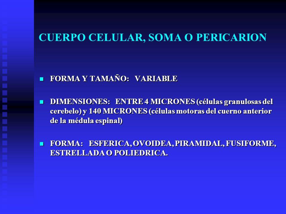 CUERPO CELULAR, SOMA O PERICARION FORMA Y TAMAÑO: VARIABLE FORMA Y TAMAÑO: VARIABLE DIMENSIONES: ENTRE 4 MICRONES (células granulosas del cerebelo) y