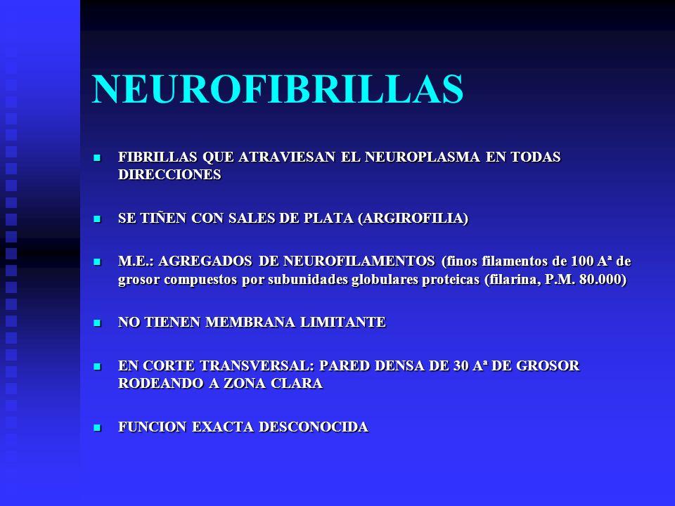 NEUROFIBRILLAS FIBRILLAS QUE ATRAVIESAN EL NEUROPLASMA EN TODAS DIRECCIONES FIBRILLAS QUE ATRAVIESAN EL NEUROPLASMA EN TODAS DIRECCIONES SE TIÑEN CON