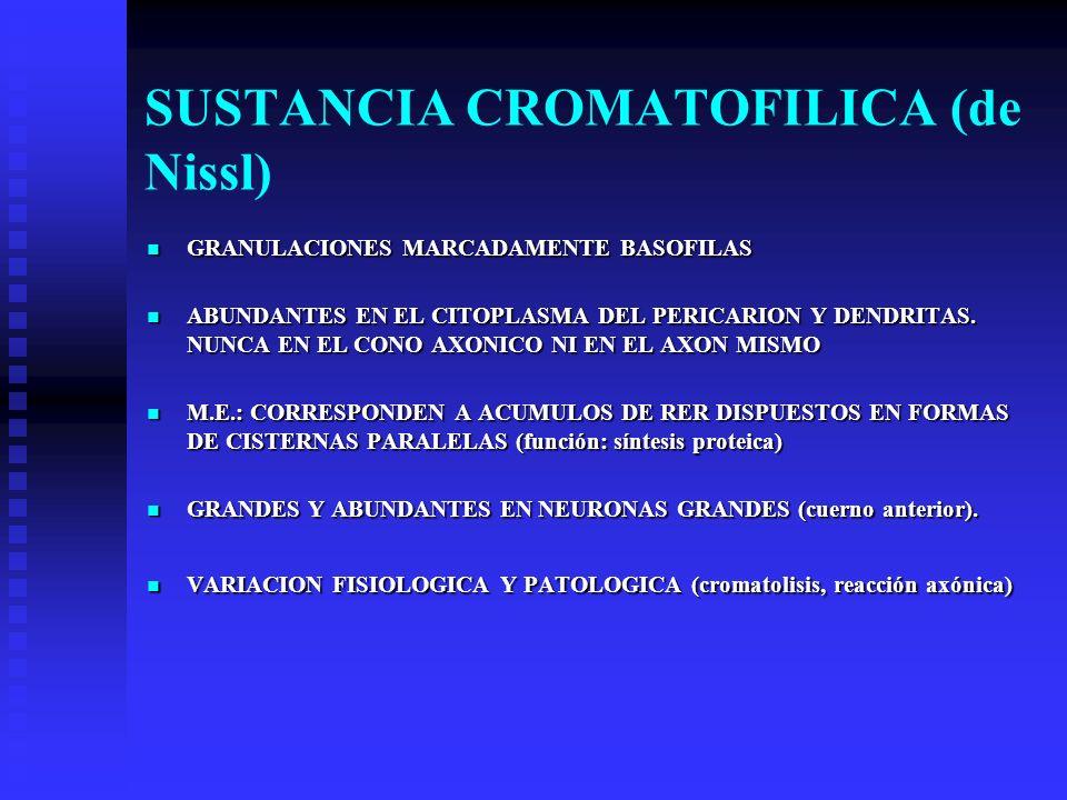 SUSTANCIA CROMATOFILICA (de Nissl) GRANULACIONES MARCADAMENTE BASOFILAS GRANULACIONES MARCADAMENTE BASOFILAS ABUNDANTES EN EL CITOPLASMA DEL PERICARIO