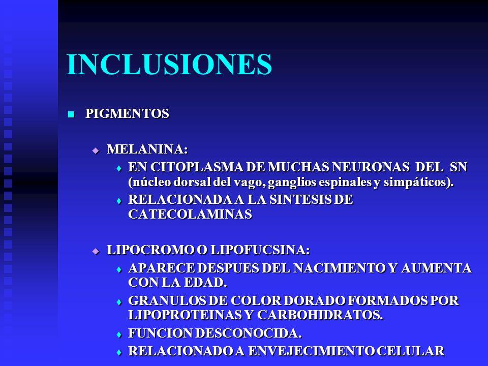 INCLUSIONES PIGMENTOS PIGMENTOS MELANINA: MELANINA: EN CITOPLASMA DE MUCHAS NEURONAS DEL SN (núcleo dorsal del vago, ganglios espinales y simpáticos).