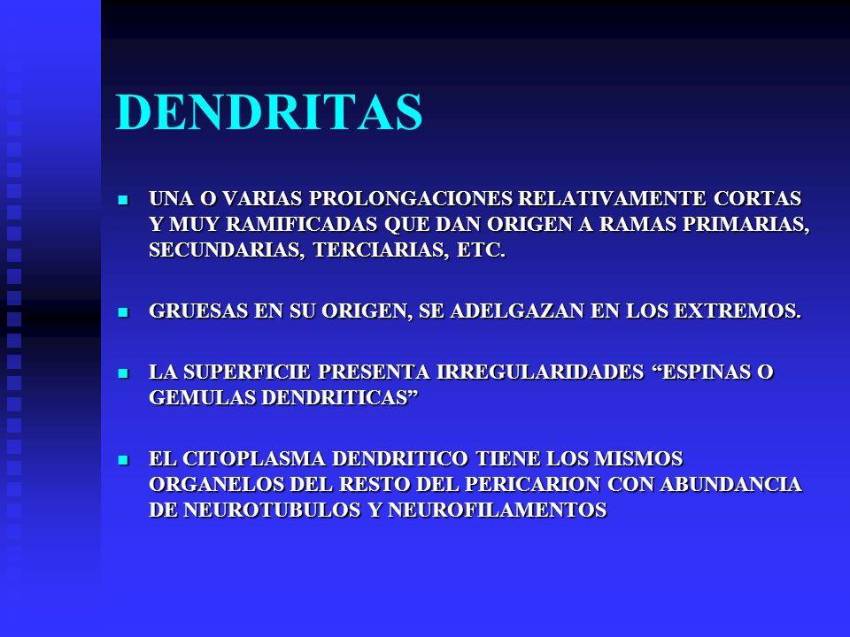 DENDRITAS UNA O VARIAS PROLONGACIONES RELATIVAMENTE CORTAS Y MUY RAMIFICADAS QUE DAN ORIGEN A RAMAS PRIMARIAS, SECUNDARIAS, TERCIARIAS, ETC. UNA O VAR