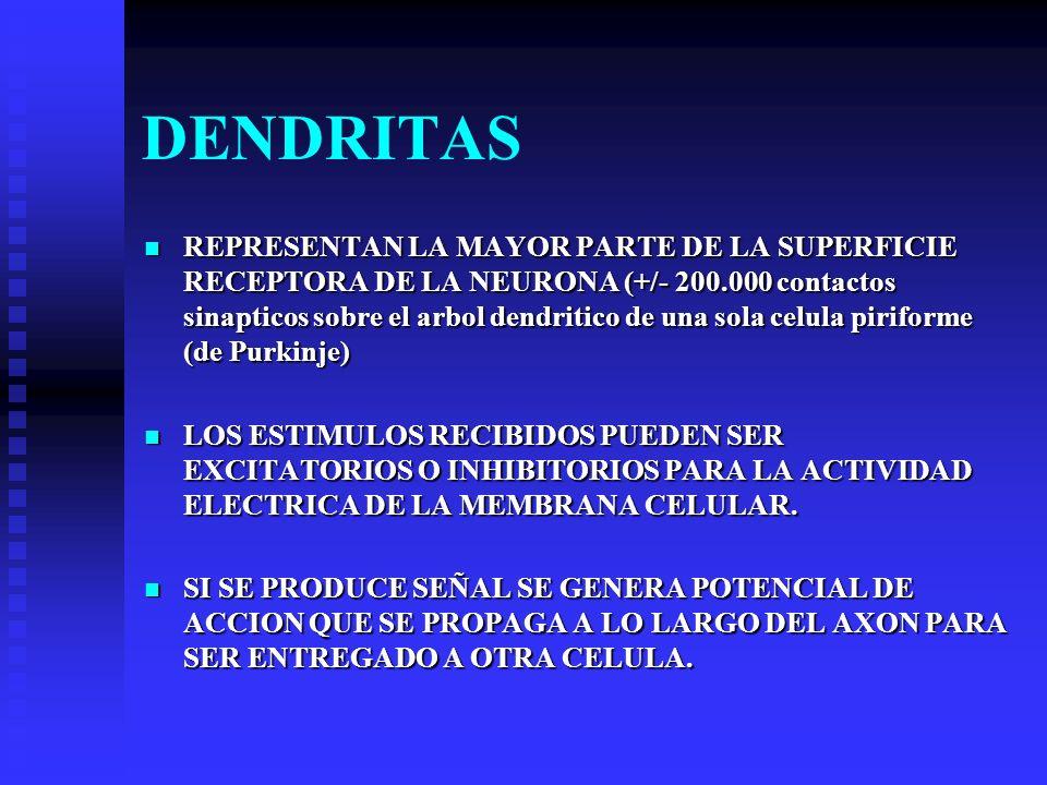 DENDRITAS REPRESENTAN LA MAYOR PARTE DE LA SUPERFICIE RECEPTORA DE LA NEURONA (+/- 200.000 contactos sinapticos sobre el arbol dendritico de una sola