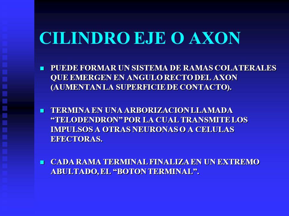 CILINDRO EJE O AXON PUEDE FORMAR UN SISTEMA DE RAMAS COLATERALES QUE EMERGEN EN ANGULO RECTO DEL AXON (AUMENTAN LA SUPERFICIE DE CONTACTO). PUEDE FORM