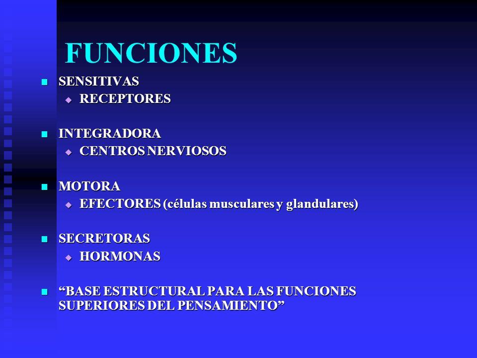 COMPONENTES HISTOLOGICOS (SNC y SNP) ELEMENTOS NERVIOSOS PROPIAMENTE TALES ELEMENTOS NERVIOSOS PROPIAMENTE TALES NEURONAS NEURONAS ELEMENTOS INTERSTICIALES ELEMENTOS INTERSTICIALES CELULAS NEUROGLICAS CELULAS NEUROGLICAS TEJIDO CONECTIVO TEJIDO CONECTIVO FORMA LAS ENVOLTURAS DEL TEJIDO NERVIOSO (parte de las meninges del SNC y vainas que envuelven los nervios, cápsulas de los ganglios y tejido conectivo asociado a las terminaciones nerviosas y órganos sensoriales) FORMA LAS ENVOLTURAS DEL TEJIDO NERVIOSO (parte de las meninges del SNC y vainas que envuelven los nervios, cápsulas de los ganglios y tejido conectivo asociado a las terminaciones nerviosas y órganos sensoriales)