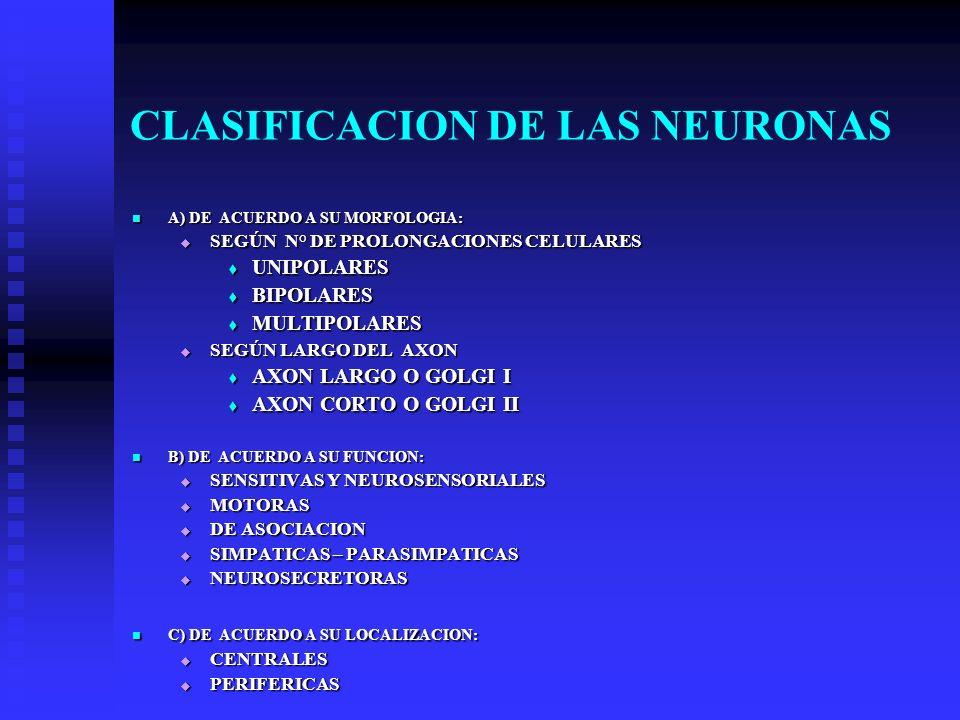 CLASIFICACION DE LAS NEURONAS A) DE ACUERDO A SU MORFOLOGIA: A) DE ACUERDO A SU MORFOLOGIA: SEGÚN N° DE PROLONGACIONES CELULARES SEGÚN N° DE PROLONGAC