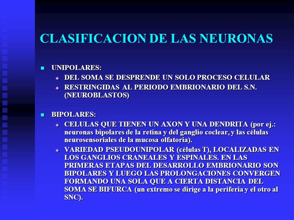 CLASIFICACION DE LAS NEURONAS UNIPOLARES: UNIPOLARES: DEL SOMA SE DESPRENDE UN SOLO PROCESO CELULAR DEL SOMA SE DESPRENDE UN SOLO PROCESO CELULAR REST
