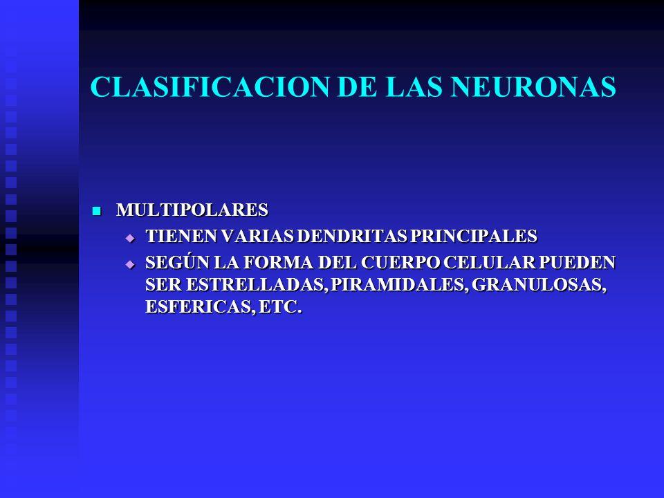 CLASIFICACION DE LAS NEURONAS MULTIPOLARES MULTIPOLARES TIENEN VARIAS DENDRITAS PRINCIPALES TIENEN VARIAS DENDRITAS PRINCIPALES SEGÚN LA FORMA DEL CUE