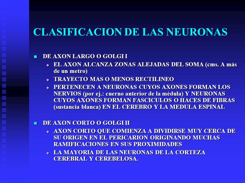 CLASIFICACION DE LAS NEURONAS DE AXON LARGO O GOLGI I DE AXON LARGO O GOLGI I EL AXON ALCANZA ZONAS ALEJADAS DEL SOMA (cms. A más de un metro) EL AXON