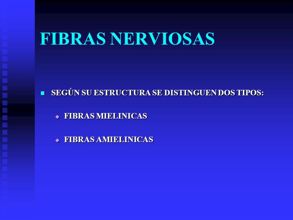 FIBRAS NERVIOSAS SEGÚN SU ESTRUCTURA SE DISTINGUEN DOS TIPOS: SEGÚN SU ESTRUCTURA SE DISTINGUEN DOS TIPOS: FIBRAS MIELINICAS FIBRAS MIELINICAS FIBRAS