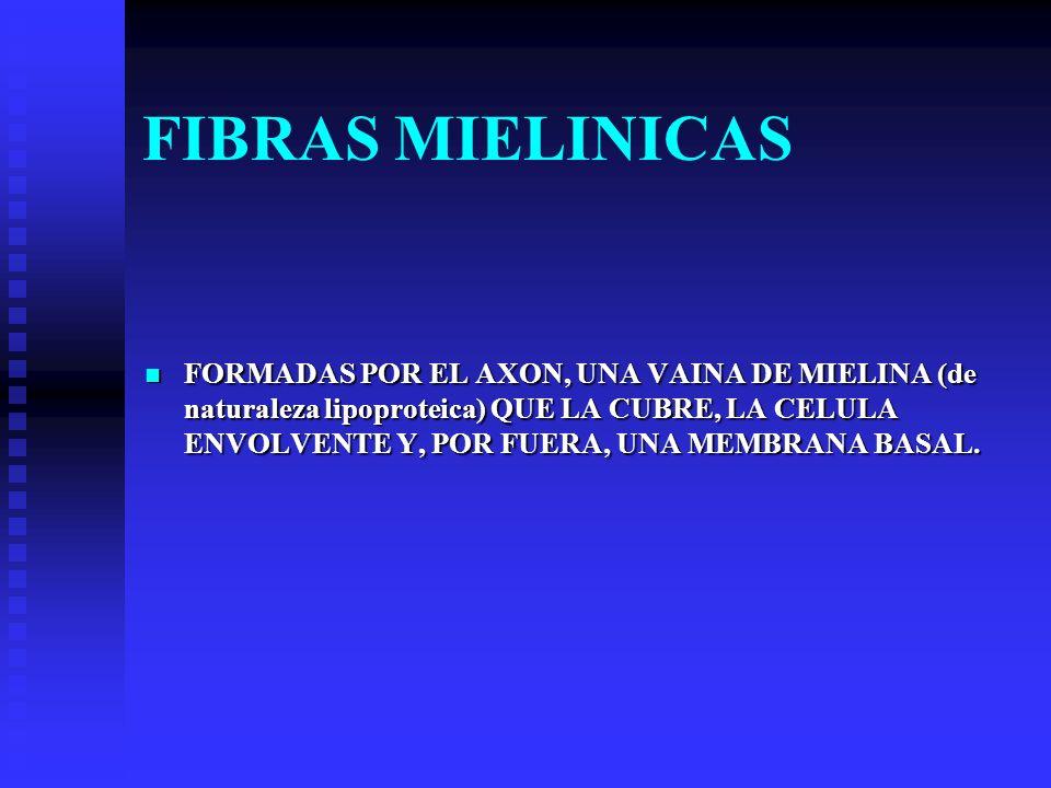FIBRAS MIELINICAS FORMADAS POR EL AXON, UNA VAINA DE MIELINA (de naturaleza lipoproteica) QUE LA CUBRE, LA CELULA ENVOLVENTE Y, POR FUERA, UNA MEMBRAN