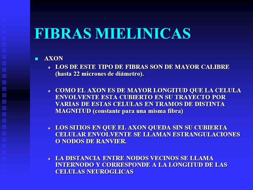 FIBRAS MIELINICAS AXON AXON LOS DE ESTE TIPO DE FIBRAS SON DE MAYOR CALIBRE (hasta 22 micrones de diámetro). LOS DE ESTE TIPO DE FIBRAS SON DE MAYOR C