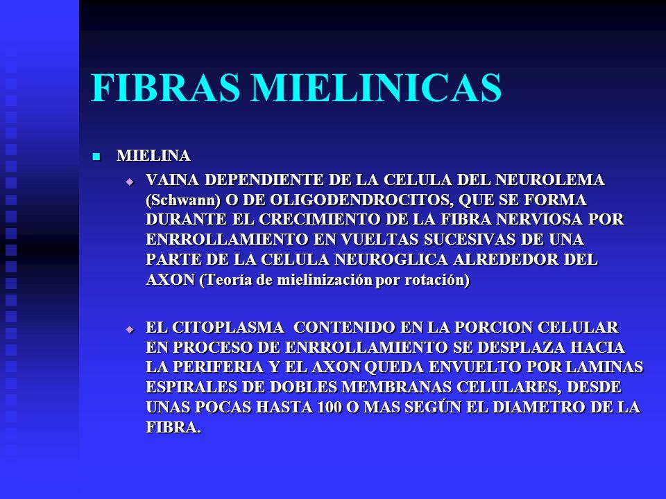 FIBRAS MIELINICAS MIELINA MIELINA VAINA DEPENDIENTE DE LA CELULA DEL NEUROLEMA (Schwann) O DE OLIGODENDROCITOS, QUE SE FORMA DURANTE EL CRECIMIENTO DE