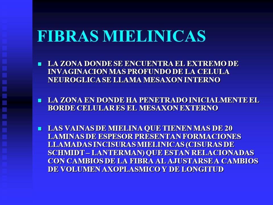 FIBRAS MIELINICAS LA ZONA DONDE SE ENCUENTRA EL EXTREMO DE INVAGINACION MAS PROFUNDO DE LA CELULA NEUROGLICA SE LLAMA MESAXON INTERNO LA ZONA DONDE SE