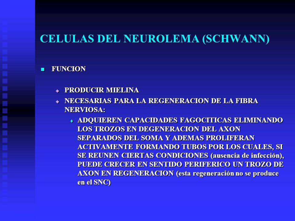 CELULAS DEL NEUROLEMA (SCHWANN) FUNCION FUNCION PRODUCIR MIELINA PRODUCIR MIELINA NECESARIAS PARA LA REGENERACION DE LA FIBRA NERVIOSA: NECESARIAS PAR