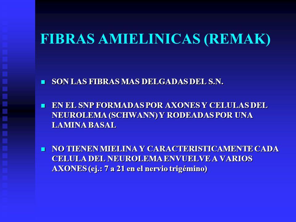 FIBRAS AMIELINICAS (REMAK) SON LAS FIBRAS MAS DELGADAS DEL S.N. SON LAS FIBRAS MAS DELGADAS DEL S.N. EN EL SNP FORMADAS POR AXONES Y CELULAS DEL NEURO