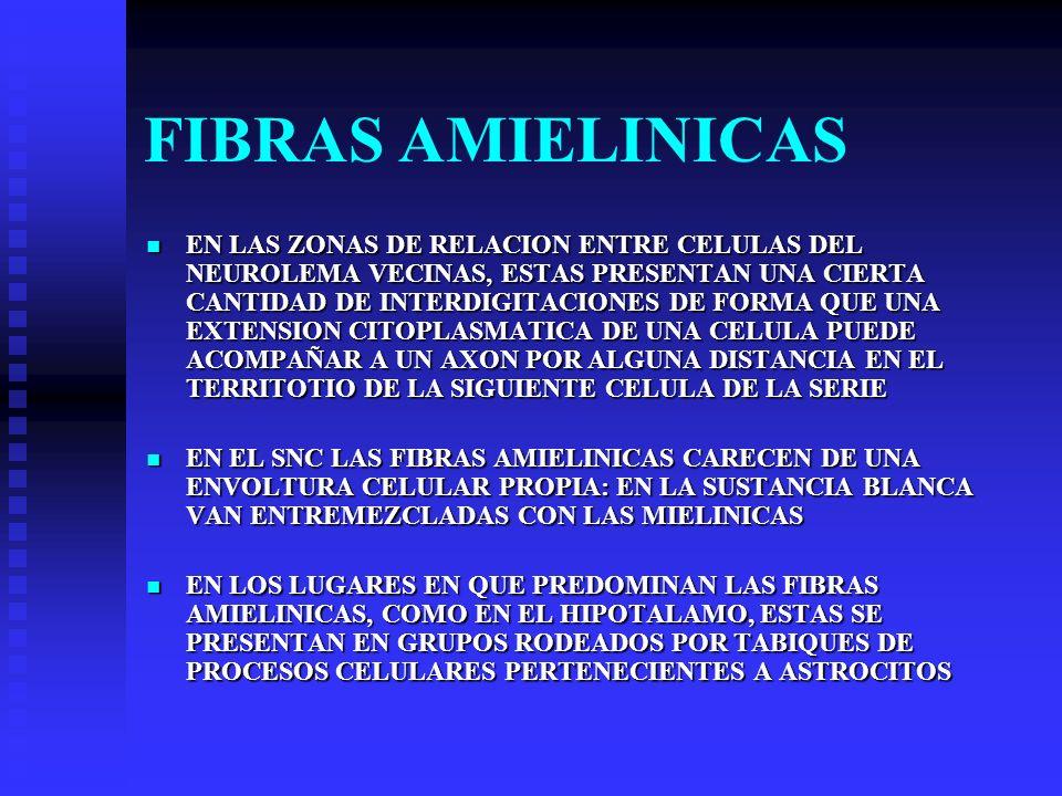 FIBRAS AMIELINICAS EN LAS ZONAS DE RELACION ENTRE CELULAS DEL NEUROLEMA VECINAS, ESTAS PRESENTAN UNA CIERTA CANTIDAD DE INTERDIGITACIONES DE FORMA QUE