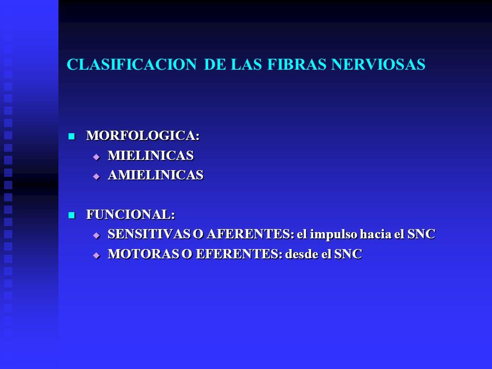 CLASIFICACION DE LAS FIBRAS NERVIOSAS MORFOLOGICA: MORFOLOGICA: MIELINICAS MIELINICAS AMIELINICAS AMIELINICAS FUNCIONAL: FUNCIONAL: SENSITIVAS O AFERE
