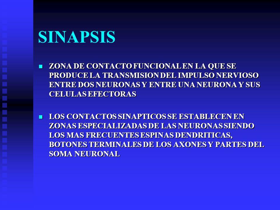 SINAPSIS ZONA DE CONTACTO FUNCIONAL EN LA QUE SE PRODUCE LA TRANSMISION DEL IMPULSO NERVIOSO ENTRE DOS NEURONAS Y ENTRE UNA NEURONA Y SUS CELULAS EFEC