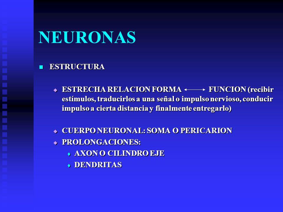 NEURONAS ESTRUCTURA ESTRUCTURA ESTRECHA RELACION FORMA FUNCION (recibir estímulos, traducirlos a una señal o impulso nervioso, conducir impulso a cier