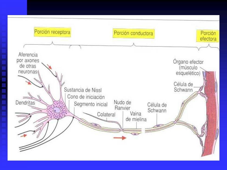 FLUJO AXONICO CORRIENTE CONTINUA DE ELEMENTOS QUE SE TRASLADAN POR EL INTERIOR DEL AXON (FLUJO AXOPLASMICO) CORRIENTE CONTINUA DE ELEMENTOS QUE SE TRASLADAN POR EL INTERIOR DEL AXON (FLUJO AXOPLASMICO) 1.- COMPONENTE DE FLUJO LENTO: 1.- COMPONENTE DE FLUJO LENTO: VELOCIDAD DE 0.5 a 5 mm POR DIA VELOCIDAD DE 0.5 a 5 mm POR DIA SUSTANCIAS SOLUBLES DE ALTO P.M.: PROTEINAS RELACIONADAS AL CRECIMIENTO Y MANTENCION DEL AXON SUSTANCIAS SOLUBLES DE ALTO P.M.: PROTEINAS RELACIONADAS AL CRECIMIENTO Y MANTENCION DEL AXON FUNCION TROFICA FUNCION TROFICA 2.- COMPONENTE DE FLUJO RAPIDO: 2.- COMPONENTE DE FLUJO RAPIDO: VELOCIDAD DE 10 a 2000 mm POR DIA VELOCIDAD DE 10 a 2000 mm POR DIA VESICULAS DE NEUROSECRECION, MITOCONDRIAS Y ELEMENTOS UNIDOS A MEMBRANAS (PROTEINAS, ENZIMAS, CATECOLAMINAS, DOPAMINA) VESICULAS DE NEUROSECRECION, MITOCONDRIAS Y ELEMENTOS UNIDOS A MEMBRANAS (PROTEINAS, ENZIMAS, CATECOLAMINAS, DOPAMINA) FUNCION: RELACIONADA A LA SINAPSIS, TRANSMISION DEL IMPULSO NERVIOSO Y ACTIVIDAD NEUROSECRETORA (POR EJ.: NEURONAS DE NUCLEOS DEL HIPOTALAMO) FUNCION: RELACIONADA A LA SINAPSIS, TRANSMISION DEL IMPULSO NERVIOSO Y ACTIVIDAD NEUROSECRETORA (POR EJ.: NEURONAS DE NUCLEOS DEL HIPOTALAMO)
