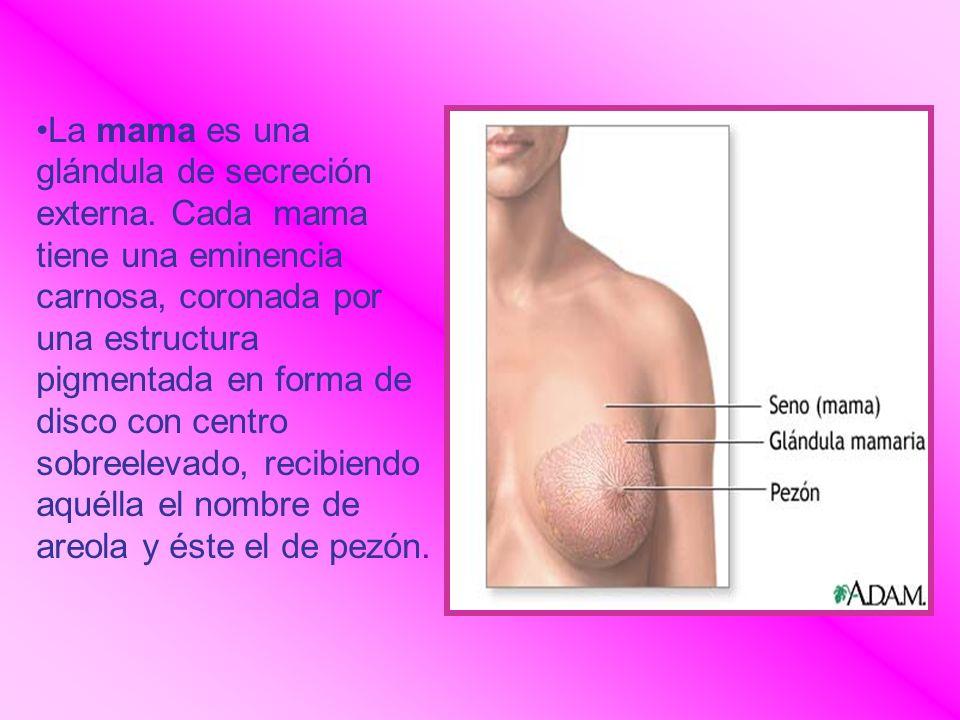 La mama es una glándula de secreción externa. Cada mama tiene una eminencia carnosa, coronada por una estructura pigmentada en forma de disco con cent