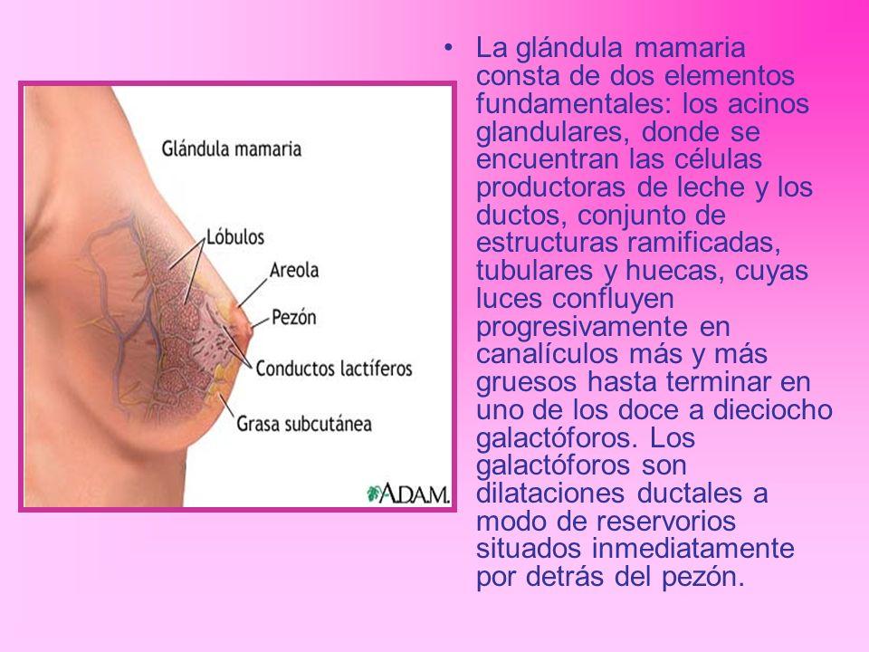 La glándula mamaria consta de dos elementos fundamentales: los acinos glandulares, donde se encuentran las células productoras de leche y los ductos,