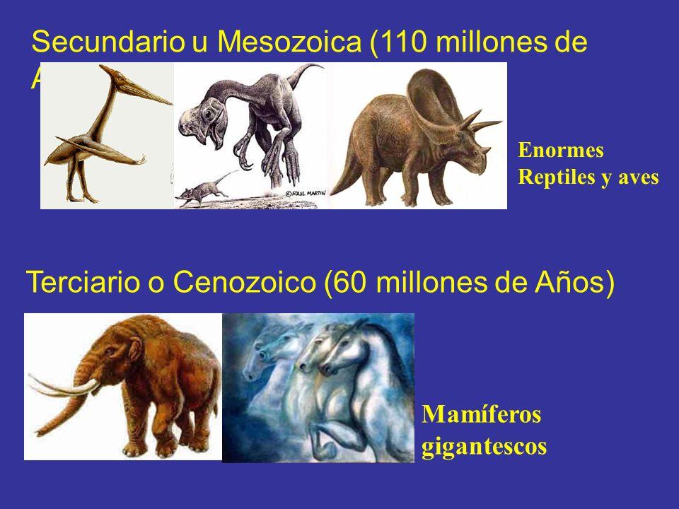 Secundario u Mesozoica (110 millones de Años) Terciario o Cenozoico (60 millones de Años) Mamíferos gigantescos Enormes Reptiles y aves