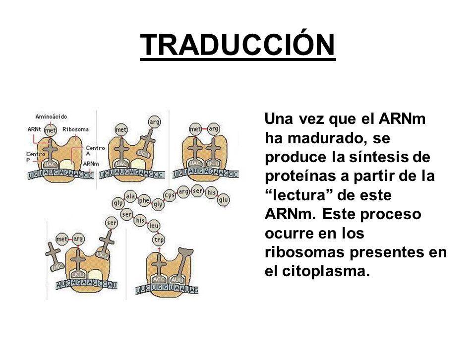 TRADUCCIÓN Una vez que el ARNm ha madurado, se produce la síntesis de proteínas a partir de la lectura de este ARNm. Este proceso ocurre en los riboso