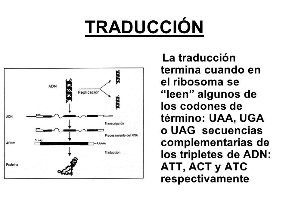 TRADUCCIÓN La traducción termina cuando en el ribosoma se leen algunos de los codones de término: UAA, UGA o UAG secuencias complementarias de los tri