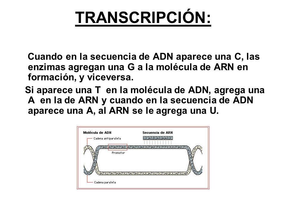 TRANSCRIPCIÓN: Cuando en la secuencia de ADN aparece una C, las enzimas agregan una G a la molécula de ARN en formación, y viceversa. Si aparece una T