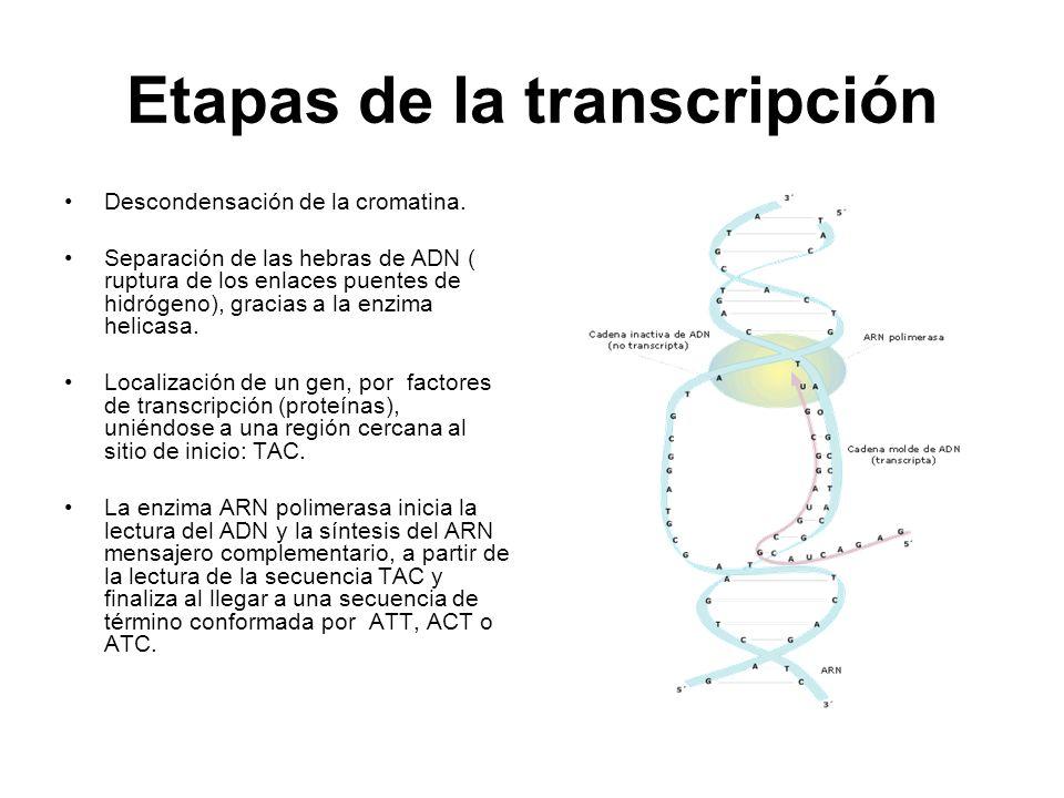 Etapas de la transcripción Descondensación de la cromatina. Separación de las hebras de ADN ( ruptura de los enlaces puentes de hidrógeno), gracias a