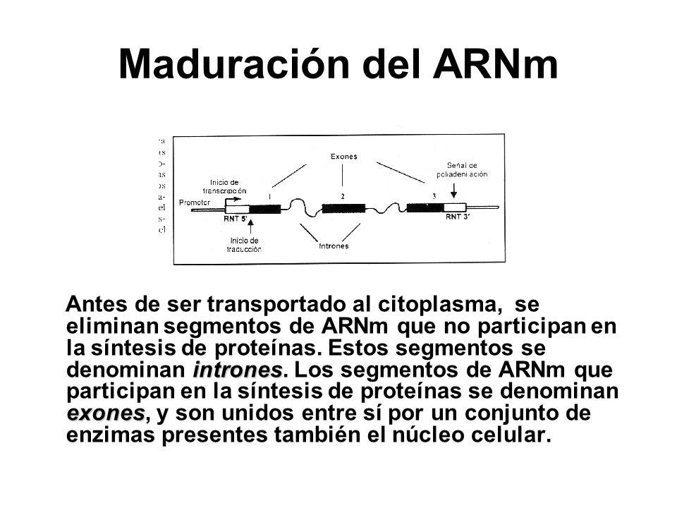 Maduración del ARNm intrones exones Antes de ser transportado al citoplasma, se eliminan segmentos de ARNm que no participan en la síntesis de proteín