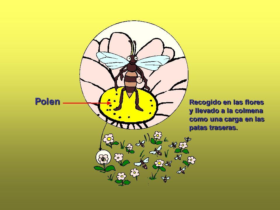 Polen Recogido en las flores y llevado a la colmena como una carga en las patas traseras.