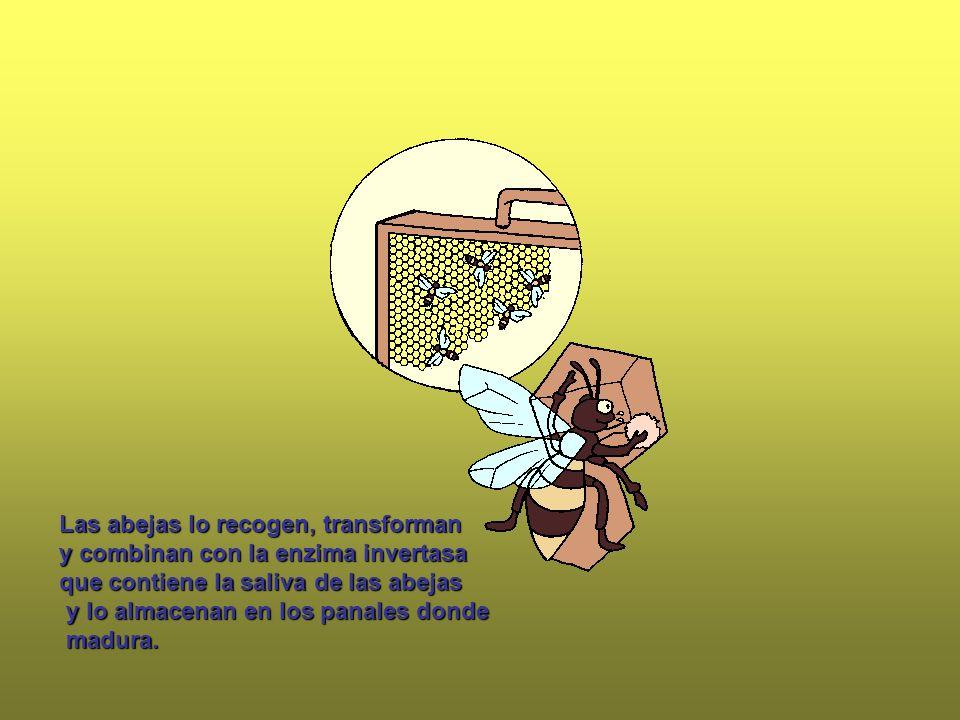 Las abejas lo recogen, transforman y combinan con la enzima invertasa que contiene la saliva de las abejas y lo almacenan en los panales donde y lo al