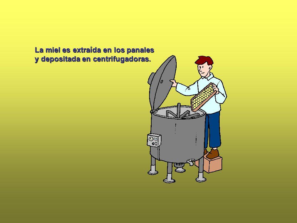 La miel es extraída en los panales y depositada en centrifugadoras.