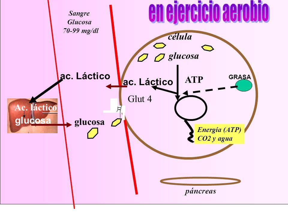 célula páncreas glucosa Energía (ATP) CO2 y agua Glut 4 ac. Láctico Ac. láctico glucosa ATP GRASA Sangre Glucosa 70-99 mg/dl