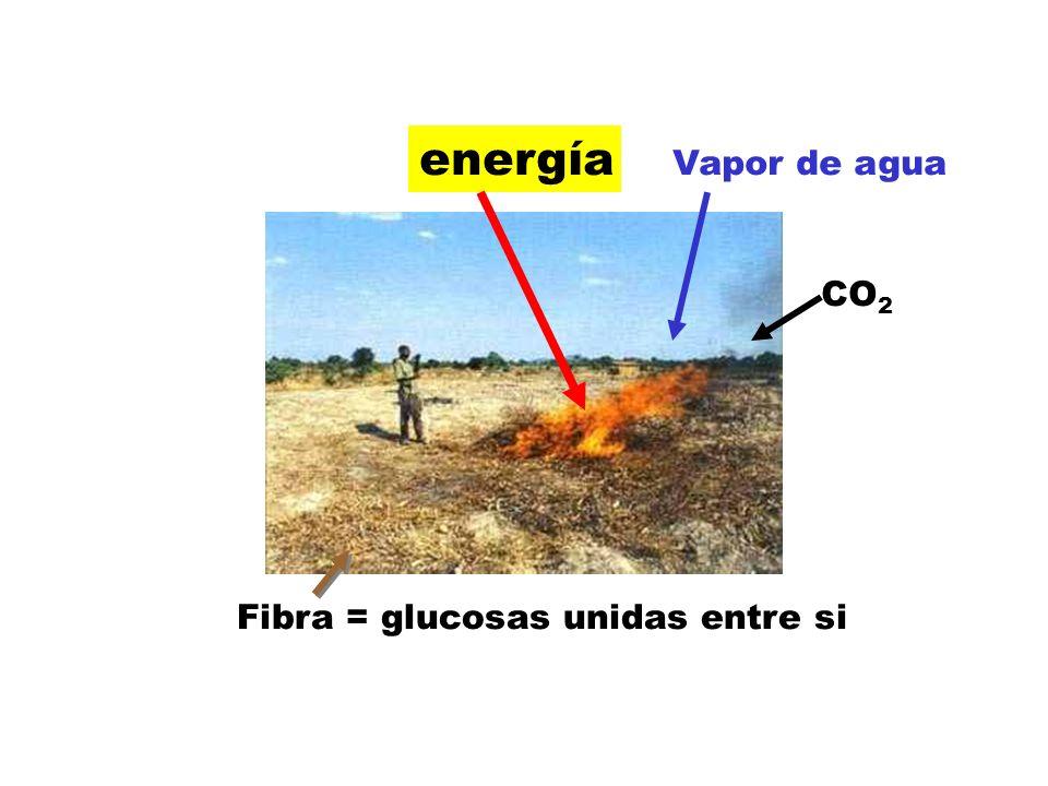 Fibra = glucosas unidas entre si energía Vapor de agua CO 2