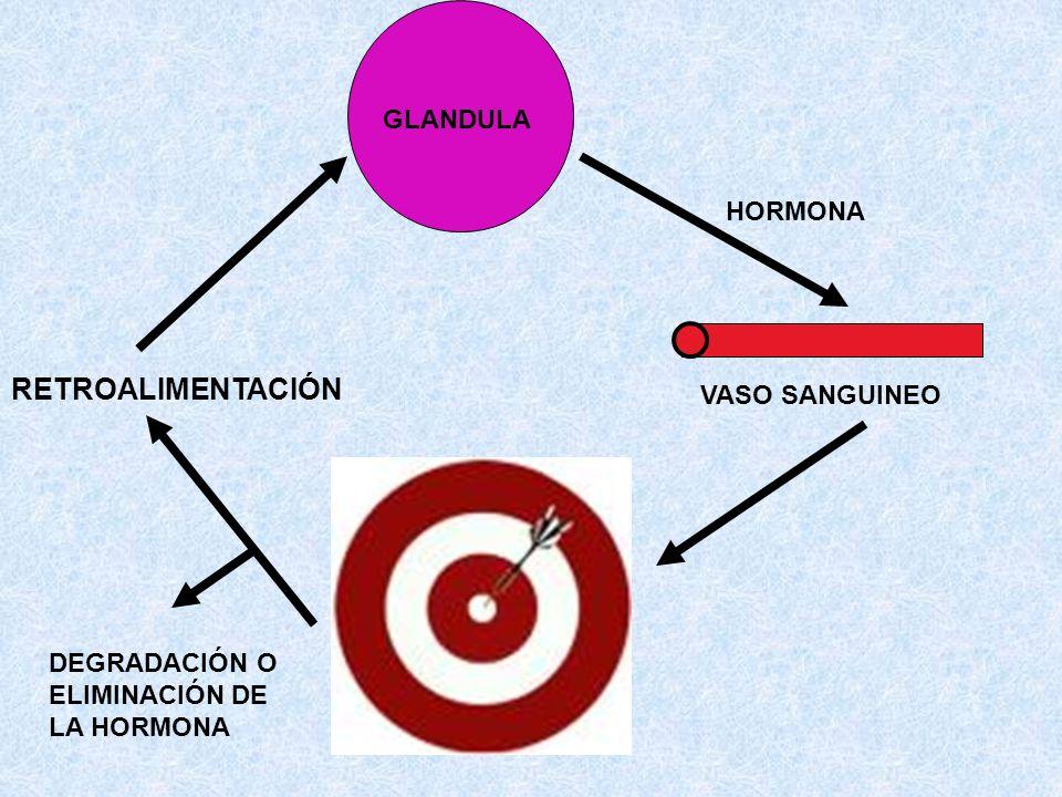 GLANDULA VASO SANGUINEO HORMONA RETROALIMENTACIÓN DEGRADACIÓN O ELIMINACIÓN DE LA HORMONA