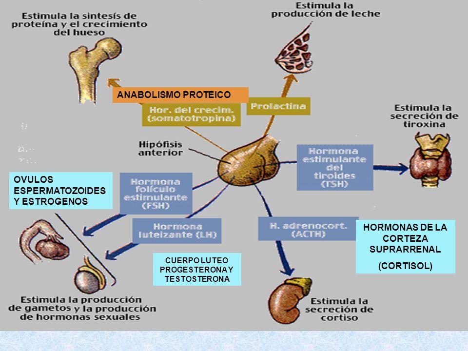 ANABOLISMO PROTEICO OVULOS ESPERMATOZOIDES Y ESTROGENOS CUERPO LUTEO PROGESTERONA Y TESTOSTERONA HORMONAS DE LA CORTEZA SUPRARRENAL (CORTISOL)